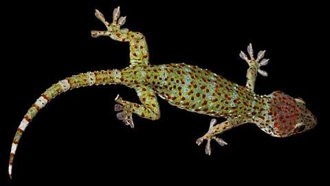 геккон ящерица фауна малайзии