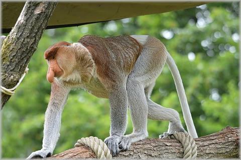 обезьяна-носач кахао борнео