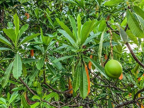 цербера дерево