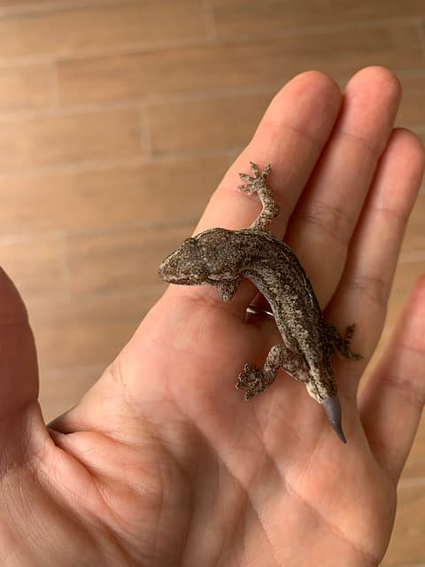 геккон отращивает хвост
