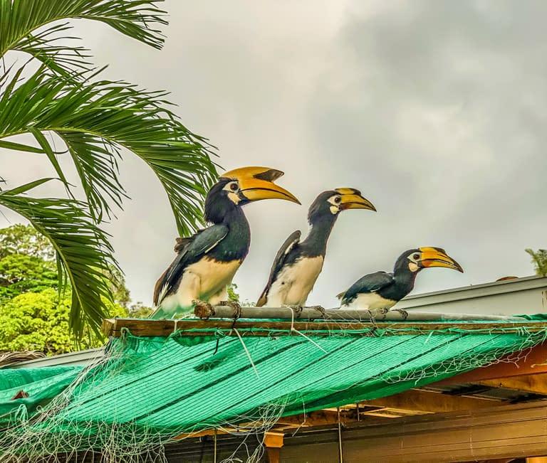 hornbills malaysia